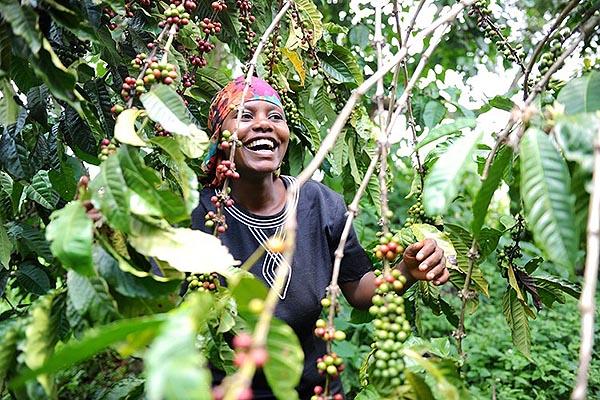 Кофе в зернах CUATTRO Уганда Другар цена в Питере